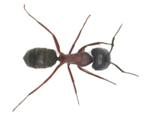 Carpenter Ant Photos And Pest Control Facts